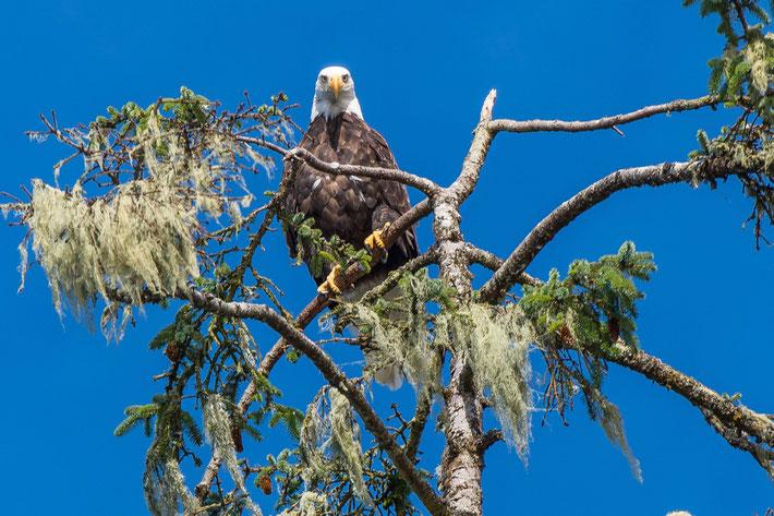 Vancouver Island; Bald Eagle
