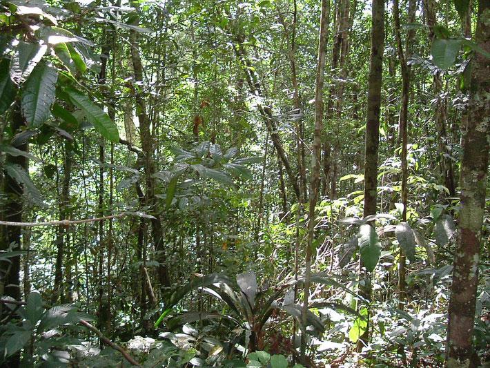 Der tropische Regenwald Amazoniens, die Heimat von Santo Daime