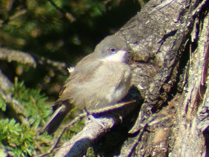 Klappergrasmücke (Jungvogel), Muotathal, 07.2013