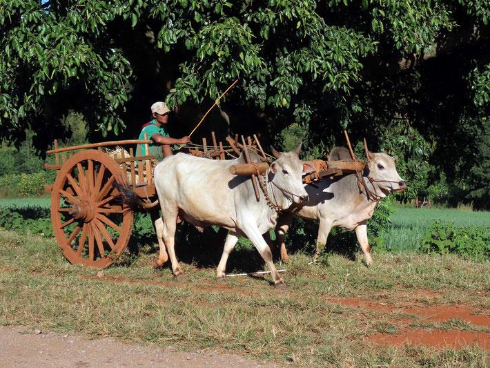Ochsenkarren auf dem Heimweg bei Pindaya