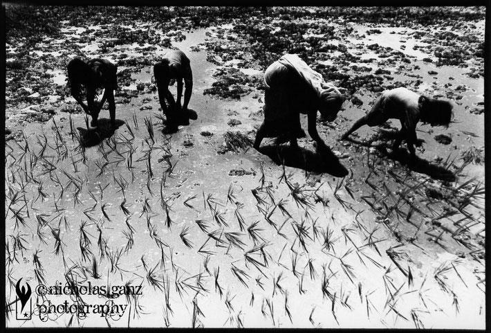 A family planting rice near Sindaya Tole in Terai - 2008
