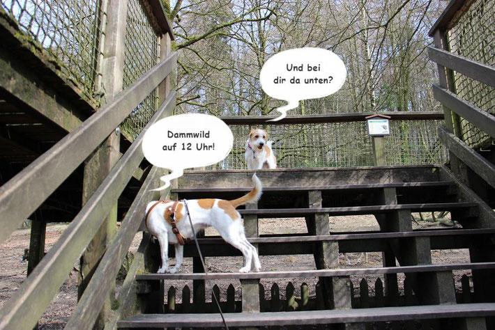 Kromfohrländer im Tierpark