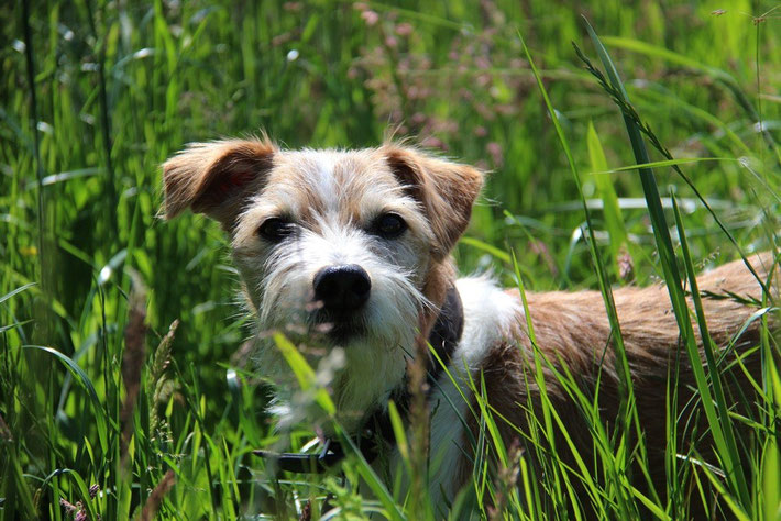 Flax vom Steenbrook - 11 Jahre alt