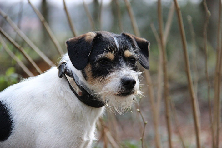 Kromfophrländer / Dansk Svensk Gardhund