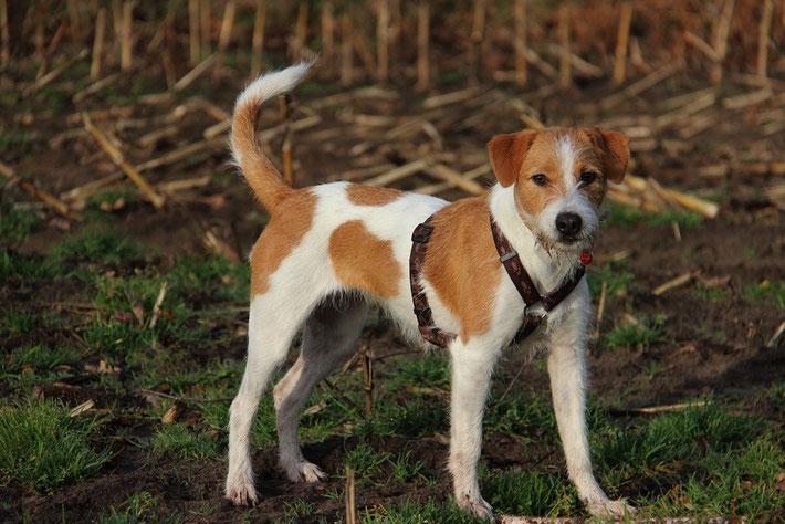 Kromfohrländer Einkreuzhund
