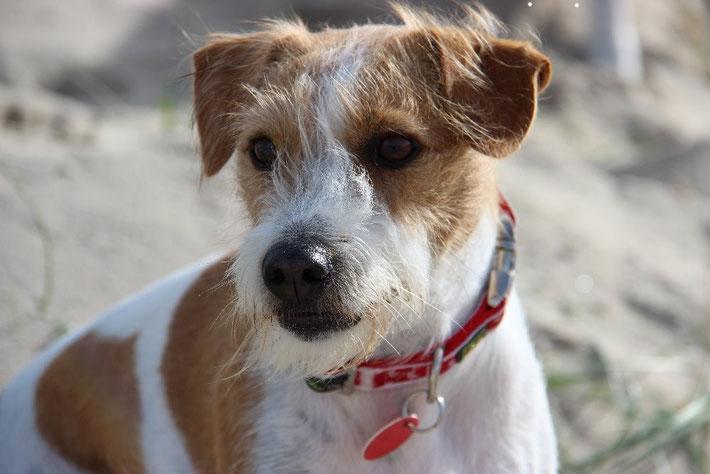 Brezel - 2 Jahre und 5 Monate alt in Callantsoog