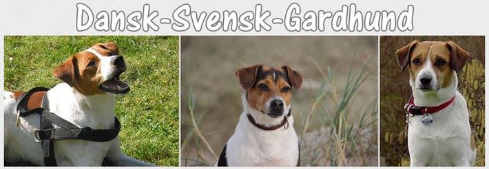 Dansk-Svensk-Gardhund / Danski / Danskie / Dansky / Dänisch-Schwedischer-Hofhund/ Bauernhund