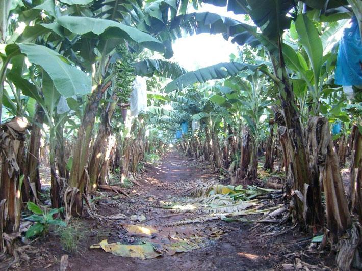 バナナファーム