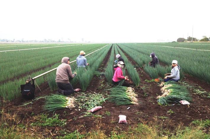 ワーキングホリデー ファームジョブ ネギの収穫