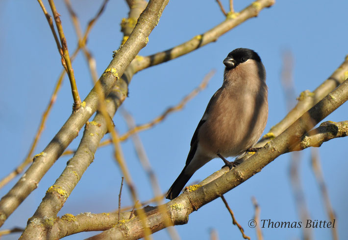 female Bullfinch (apparently the only photogenic bird of Kronach)