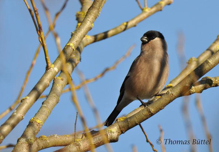 Gimpel - der anscheinend einzige photogene Vogel von Neuses