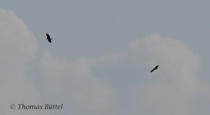 Eastern Imperial Eagles (Lake Neusiedl, Austria) - no Great Spotted Eagles but a similarly rare eagle