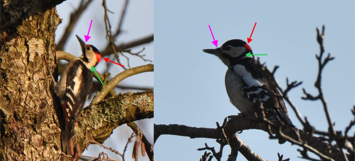 Syrian Woodpecker (left) - Great Spotted Woodpecker (right)