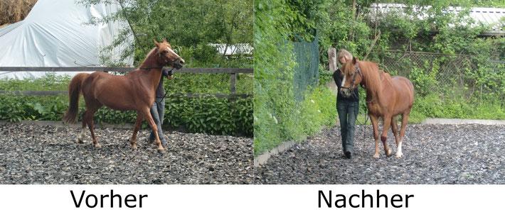 Widersetzlichkeiten an der Hand lösen. Auch hier sieht man die Entwicklung sehr gut, wenn man Geduld und Wissen aufbringt, um das Pferd in die richtigen Bahnen zu lenken