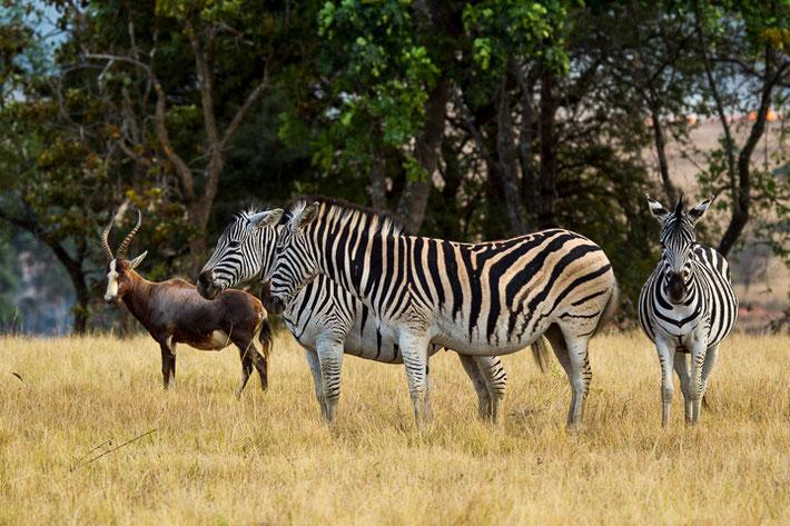 Zebras mit einem Blessbock.