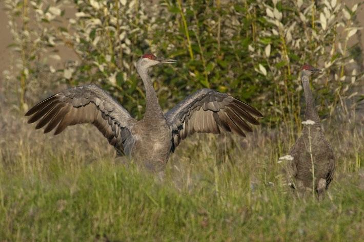 Kanadakranich (engl. Sandhill Crane, Grus canadensis)