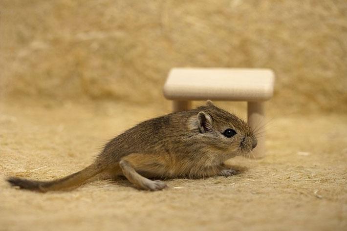 Genau 3 Wochen alt: Eines von drei Mäusebabys.