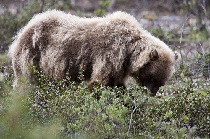 Bären sind im Nationalpark recht häufig. Mit Glück kommen sie, wie hier bei uns, sehr nahe.
