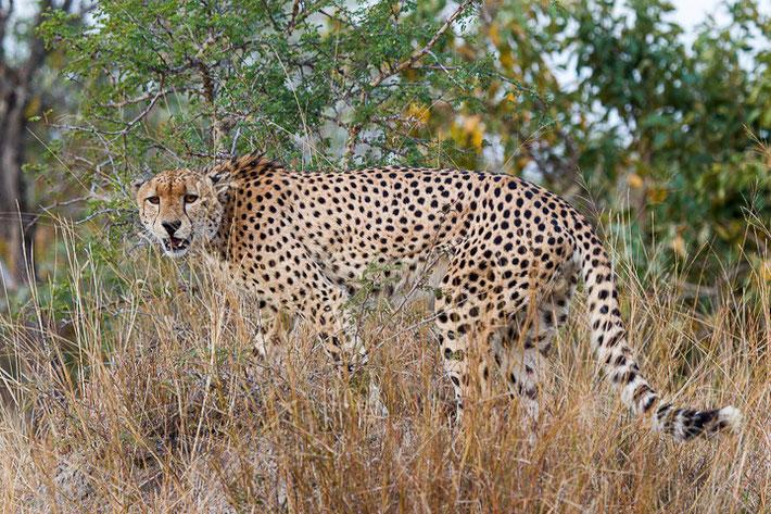 Gepard (Acinonyx jubatus) / Cheetah