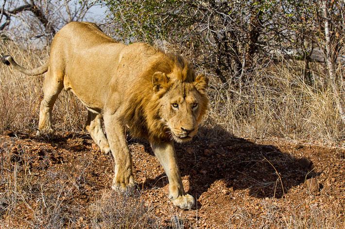 Fullframe eines Löwen mit einer Brennweite von 100mm.