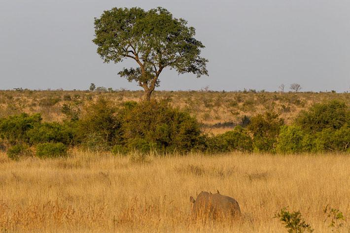 Typisches Bild im Krüger Nationalpark: Wunderbare Vegetation mit beeindruckender Tierwelt (hier ein Breitmaulnashorn).