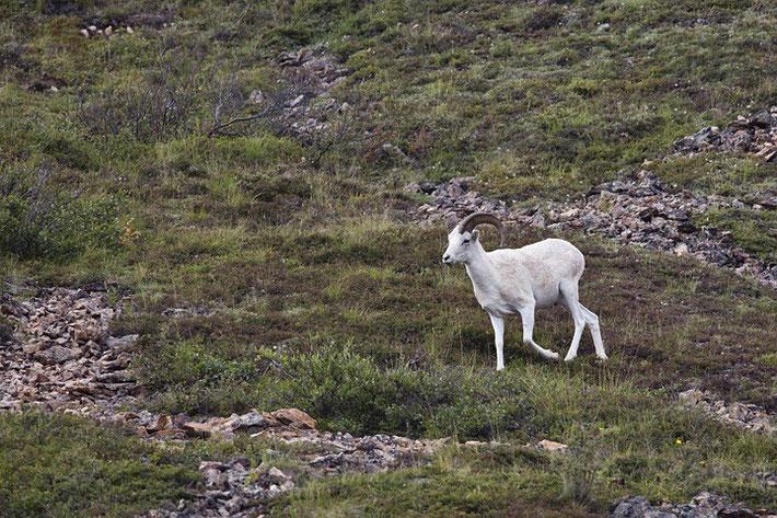 Dall-Schaf oder Alaska-Schneeschaf (Ovis dalli)