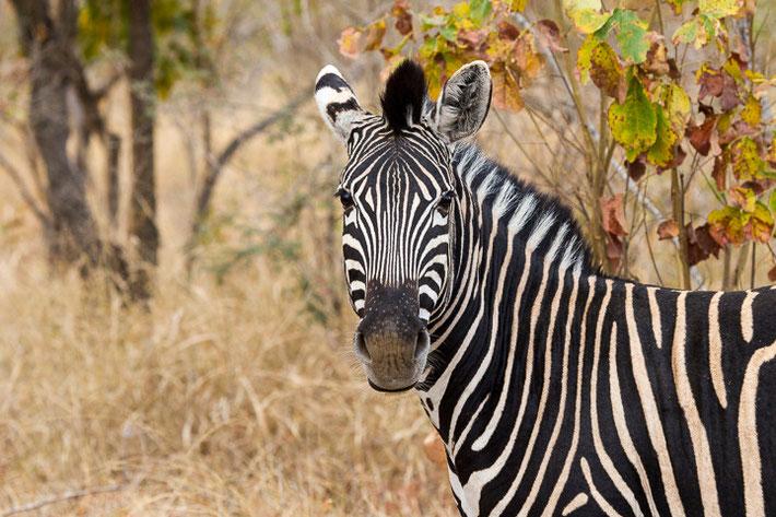 Steppenzebra (Equus quagga) / Plains zebra