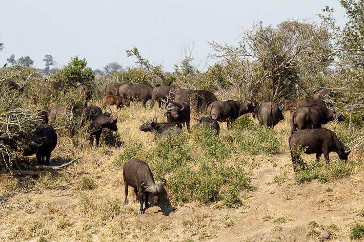 Ganze Herden der Büffel durchstreifen den Krüger Nationalpark in Südafrika.