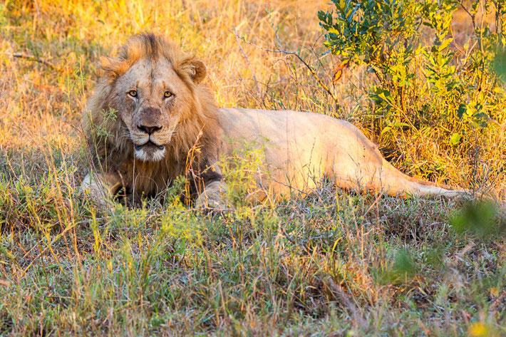 Schon auf dem Weg haben wir einige Löwen gesehen, die (anscheinend) vollgefressen im Gras pausierten.
