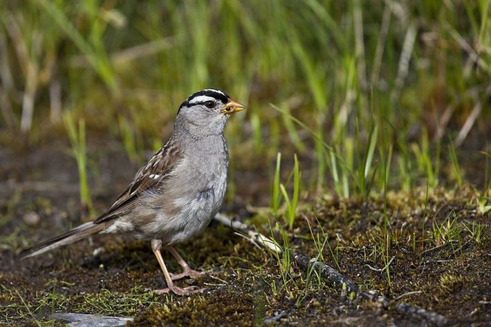 Dachsammer (engl. White-crowned Sparrow, Zonotrichia leucophrys)