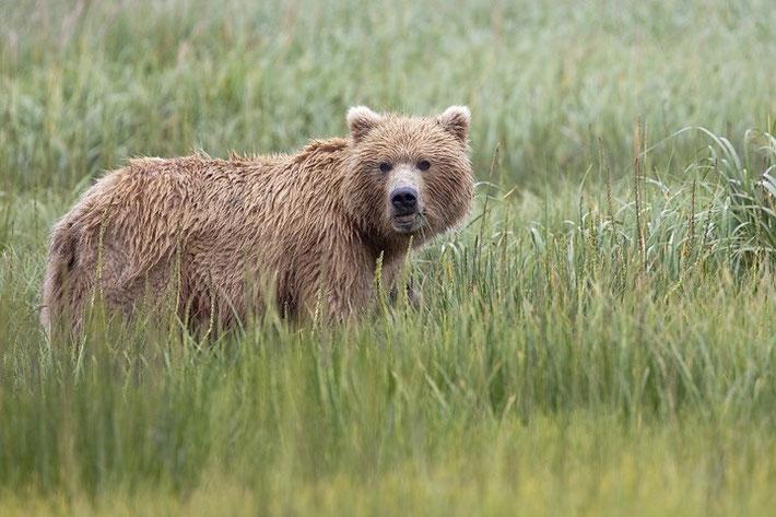 Wer nach Alaska geht möchte auch die Bären sehen! Das Bild der Grizzlybär-Dame stammt aus dem Lake Clark NP (von Anchorage oder Soldotna per Flugzeug quer über die Cook Inlet zu erreichen) im Süden Alaskas.