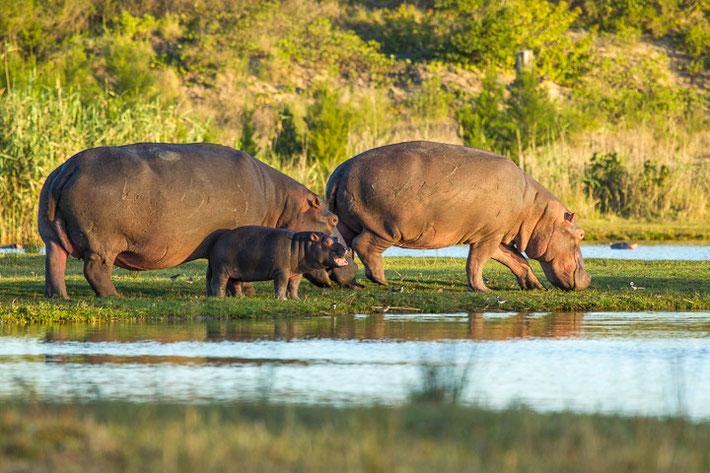 Für solch eine Situation fliegt man nach Afrika: Eine Hippo-Familie mit Jungtier. Ein beeindruckendes Erlebnis!