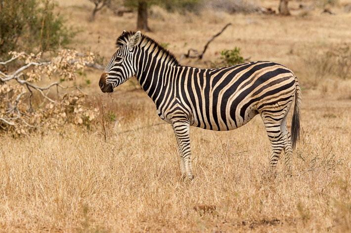Ein Steppenzebra im Krüger-Nationalpark.