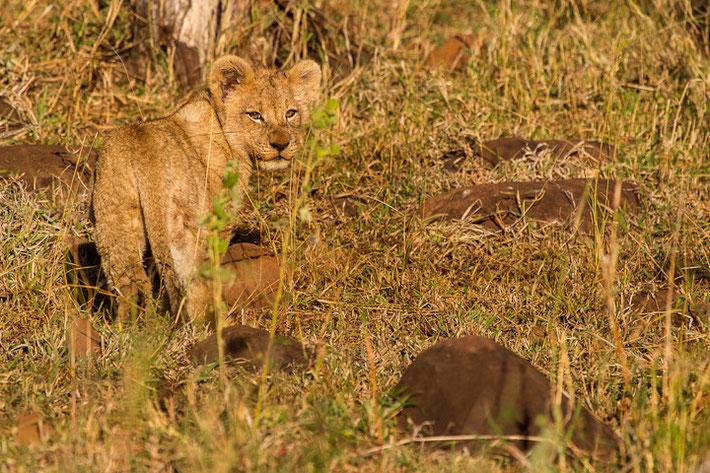 Kleiner Löwe im schönsten Morgenlicht - durch die Sonneneinstrahlung ist die perfekte Tarnung des Löwen zu sehen.
