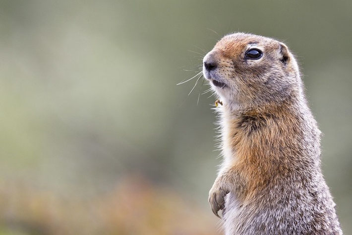 Arktischer Ziesel (engl. Arctic Ground Squirrel, Spermophilus parryii)