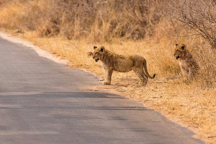 Löwe (Panthera leo) / Lion