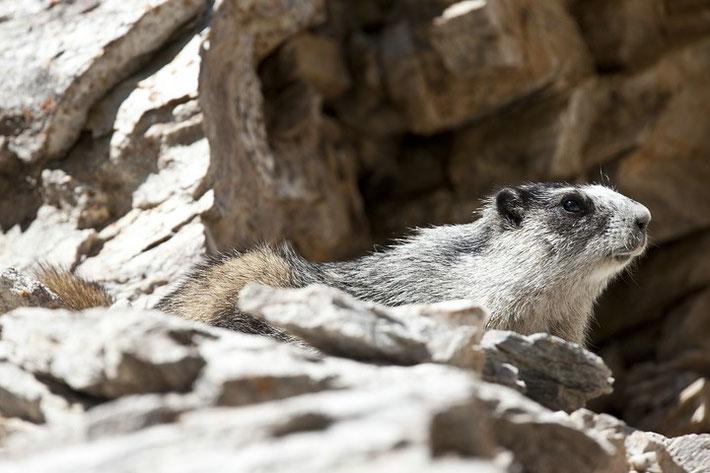 Eisgraue Murmeltier (engl. Hoary Marmot, Marmota caligata)