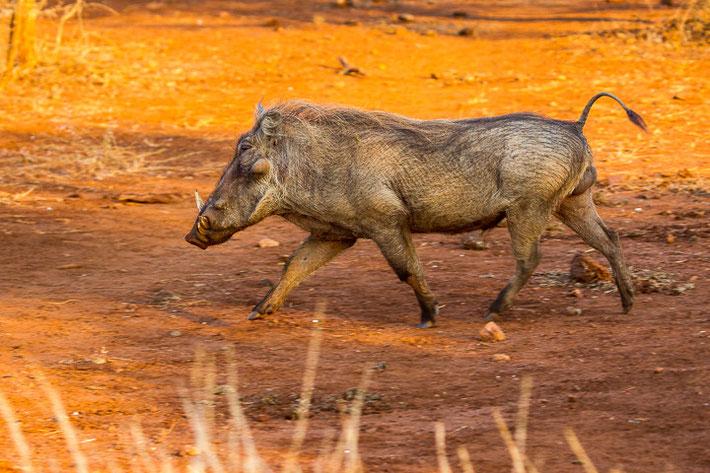 Das Warzenschwein (Phacochoerus africanus) unterwegs. ;-)