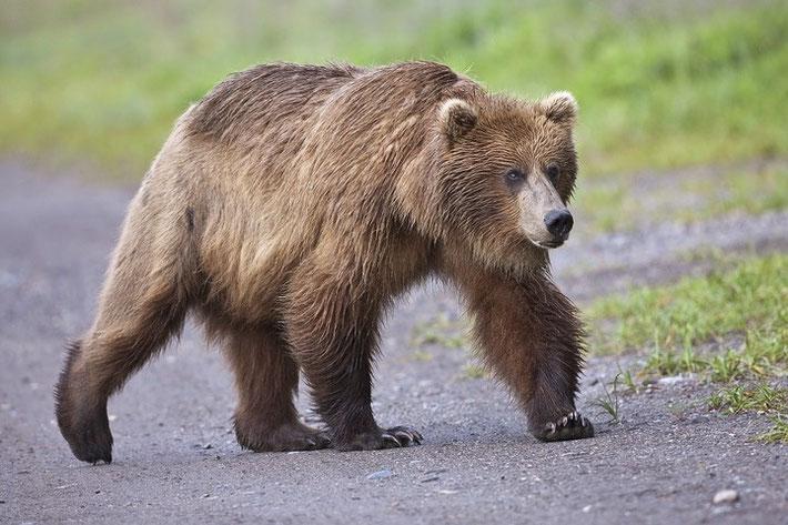 500mm an einer Vollformat reichten teilweise locker für die Bären aus.