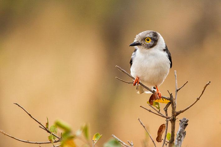 Weißschopf-Brillenwürger (Prionops plumatus) / White-crested Helmetshrike