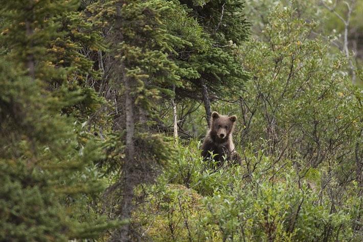Immer wieder tauchten Tiere, wie hier ein kleiner junger Bär, neben der Straße auf.