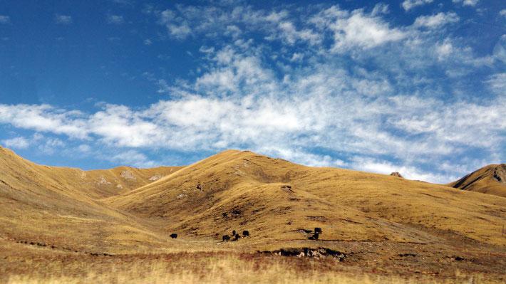 冬枯れの放牧地でヤクが草を食む