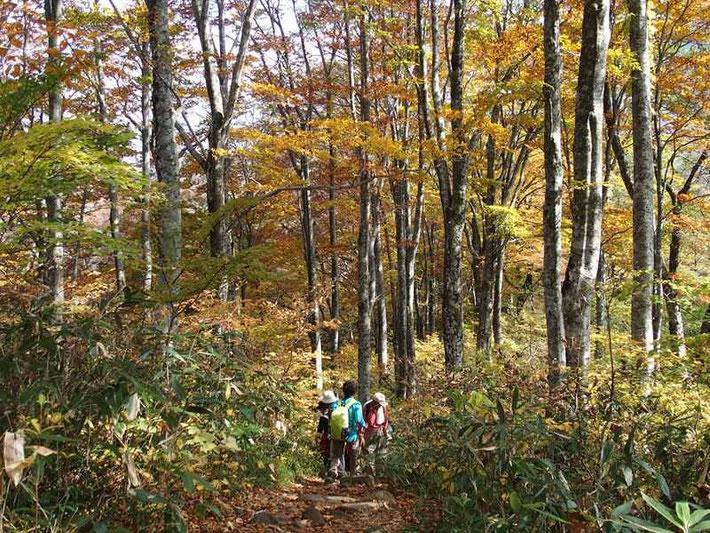 紅葉のぶな林を足取りも軽く快適に