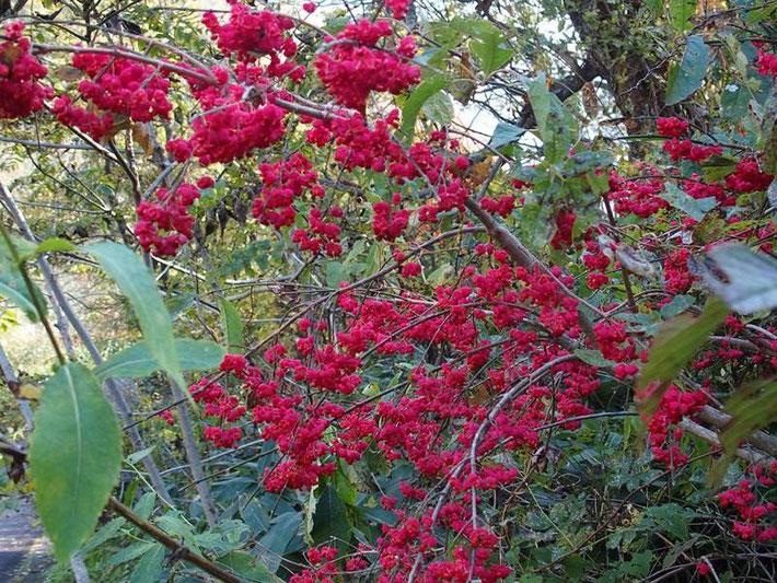 たわわに実を付けたマユミ。登り始めから下山するまでいたるところで見ごろの木が沢山でした。       サワフタギ、タンナンサワフタギ、名前不詳の黒い実などなどは下山時に写真と見送ったら、   下山時は、すからかん頭の外に飛んで行っていた。