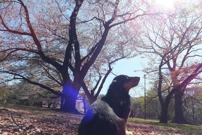 用賀といえば、砧公園。くおんとお花見です。