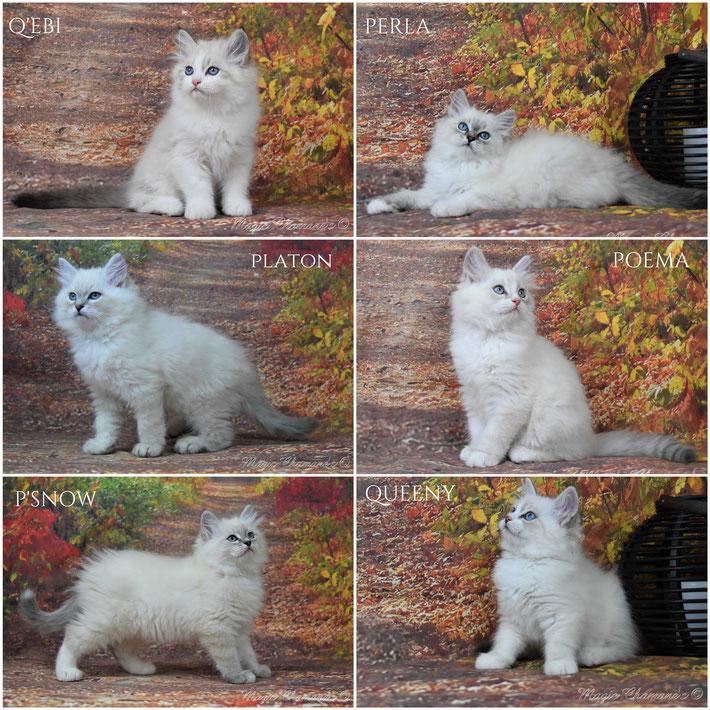 chaton sibérien néva masquerade, chaton blanc, poils longs , chat sibérien , chat yeux bleus