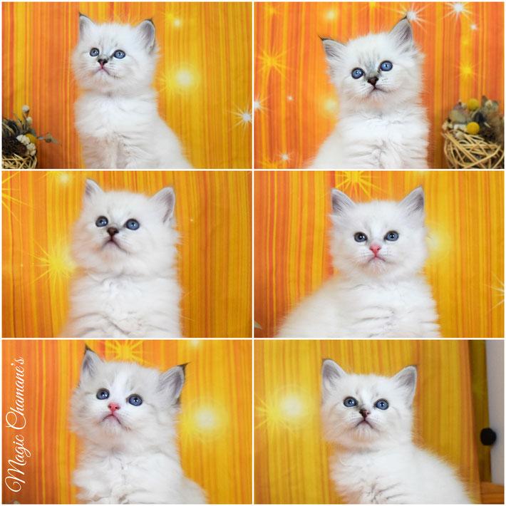 les chatons Sibérien de Nuance & Yaguar à 5 semaines