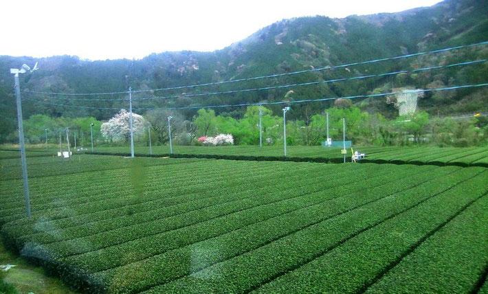 Champ de thé dans la vallée de la Oigawa (préfecture de Shizuoka - Japon) et leurs ventilateurs... pris depuis la veille locomotive à vapeur... (avril 2014)