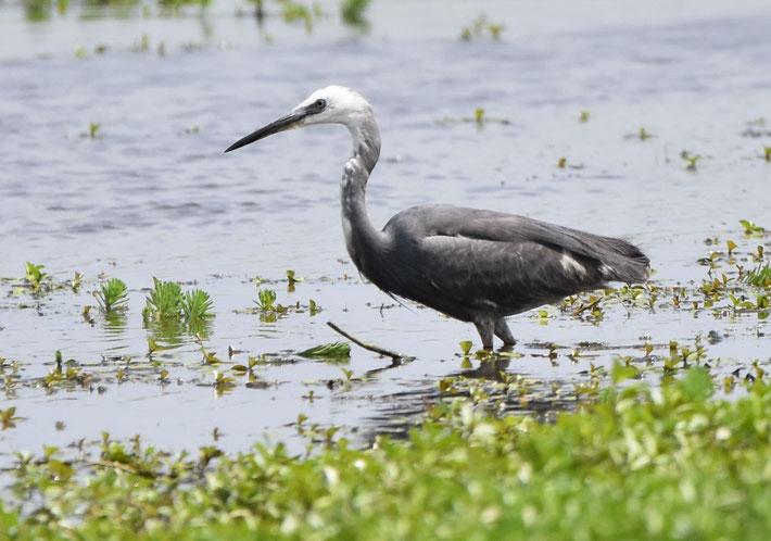 Reef Egret x Little Egret