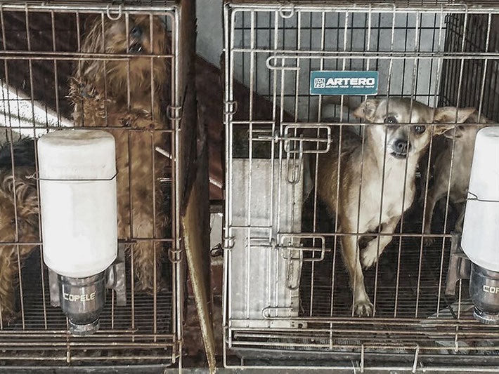 criadero ilegal perros raza toy chihuahua yorkshire